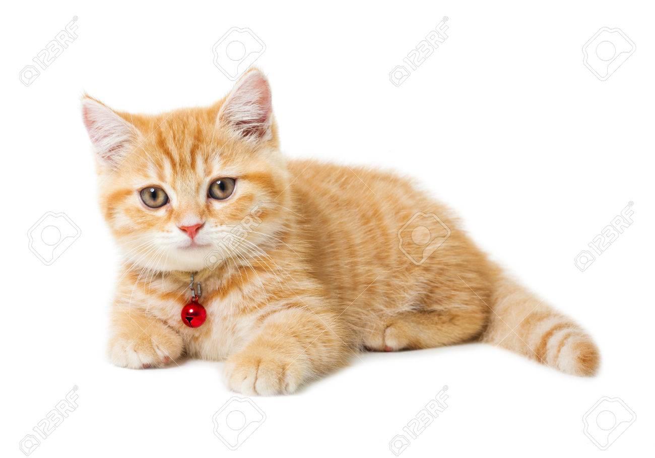 Little Ginger British Shorthair Cats Over White Background Stock