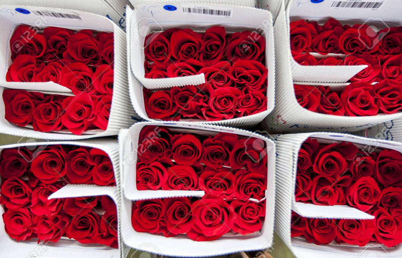 Roses packed ready for export at the Hacienda La Compania Roses Plantation near Cayambe in Ecuador. The major market for these roses is the USA. - 56226070