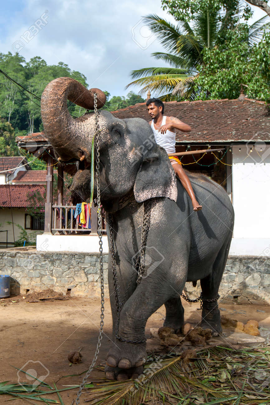 A ceremonial elephant lifts its tethering chains towards a mahout mounted on its back within the Temple of the Sacred Tooth Relic at Kandy in Sri Lanka. - 171122483