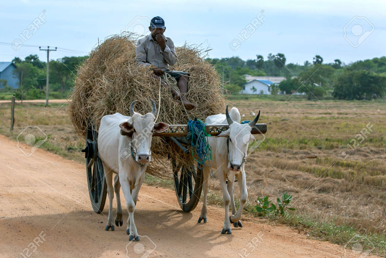 A farmer sits on a pile of hay in a cart being pulled by a pair of oxen near Panama on the east coast of Sri Lanka. - 171122486