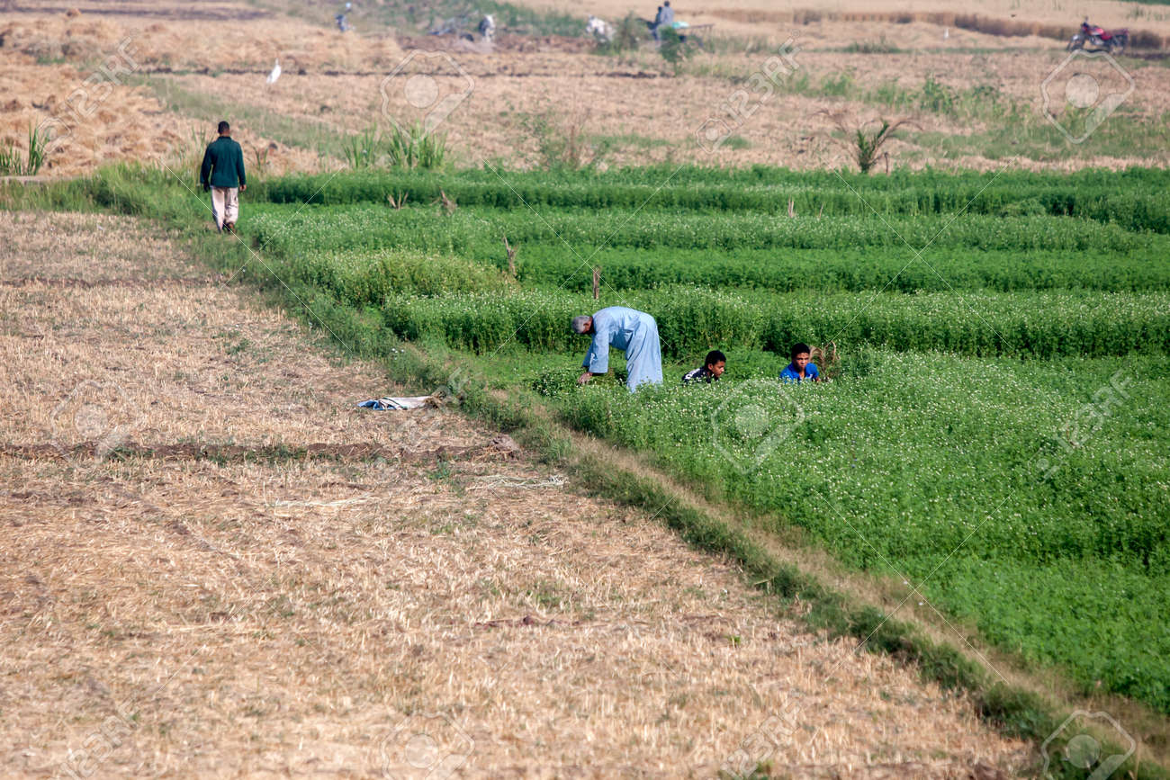 A man and boys harvest a green pasture crop from an agricultural field irrigated from the Nile River at Luxor in Egypt. - 172089022