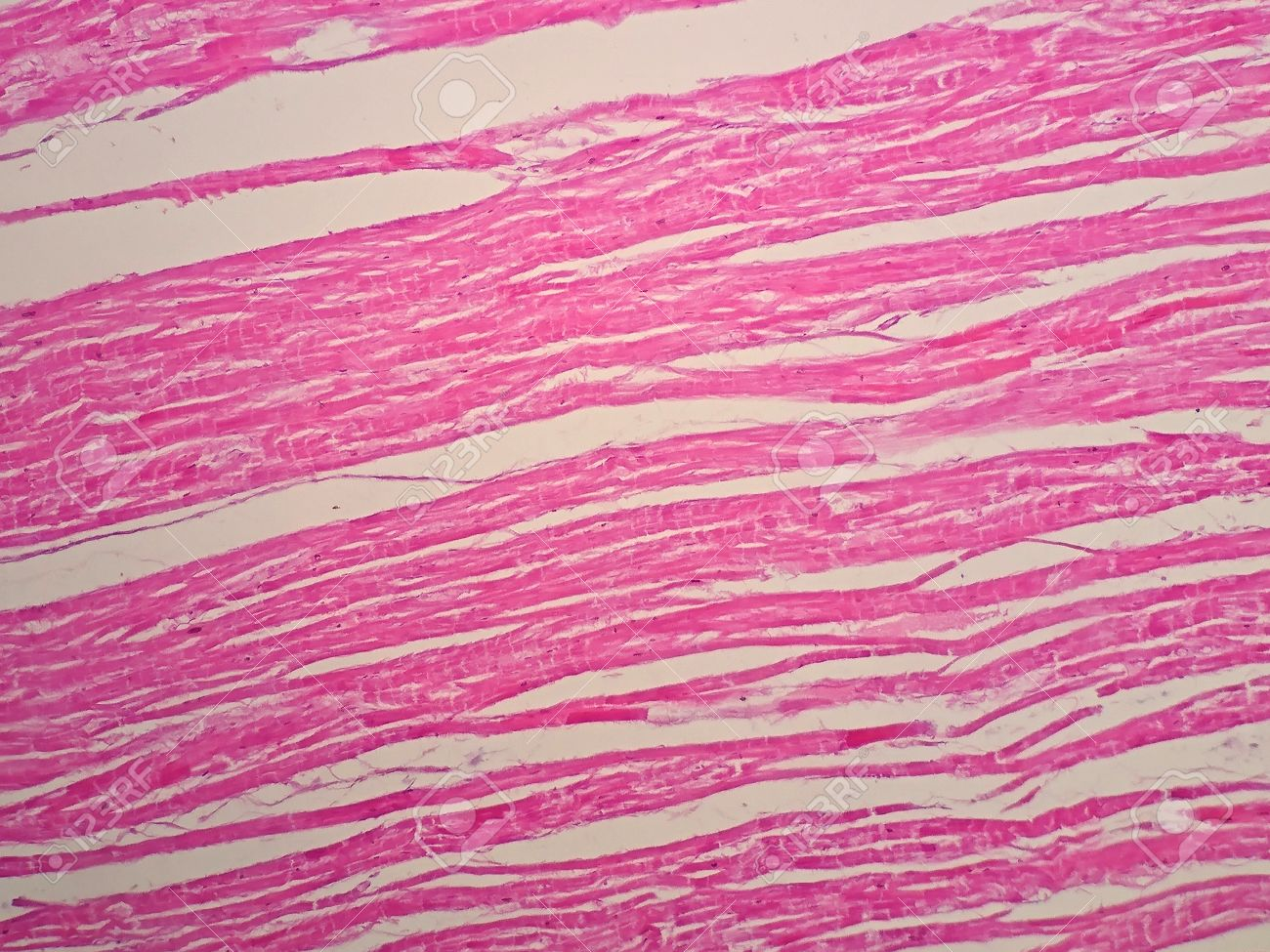 Histology Of Cardiac Muscle Under Microscope View Stock Photo ...