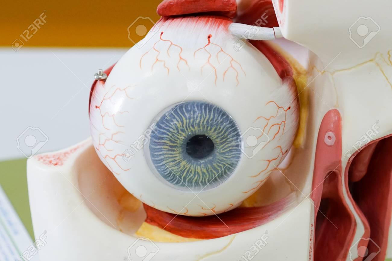 Menschliches Auge Modell Für Bildung Lizenzfreie Fotos, Bilder Und ...