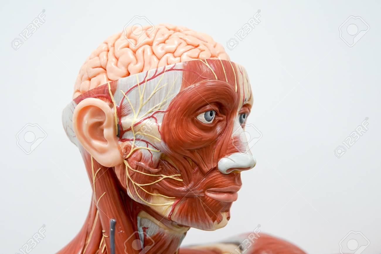 Anatomiemodell Des Menschlichen Kopfes Für Bildung Lizenzfreie Fotos ...