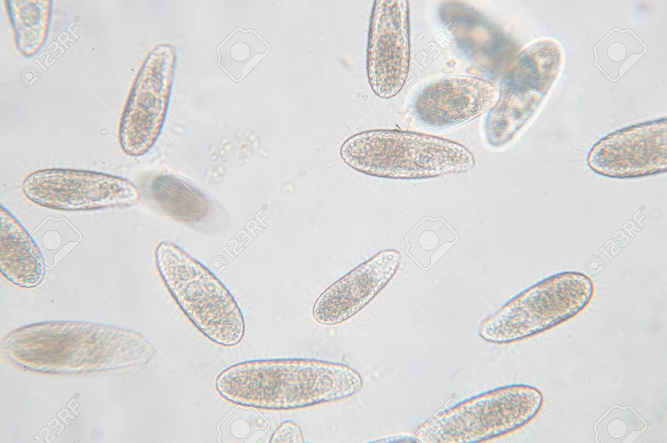 Tetrahymena is a genus of unicellular ciliated protozoan and Bacterium under the microscope - 90535710