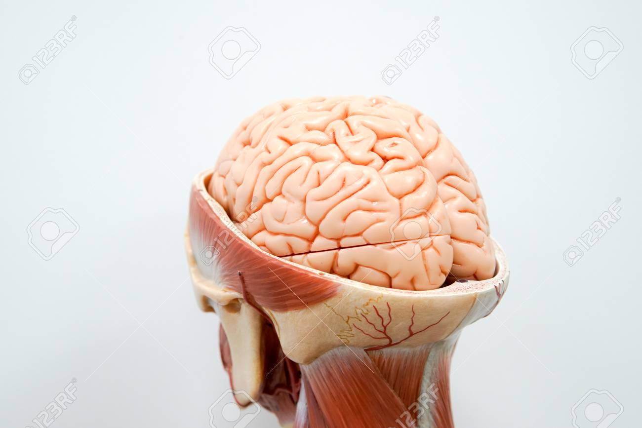 Anatomiemodell Des Menschlichen Gehirns Für Bildung Lizenzfreie ...