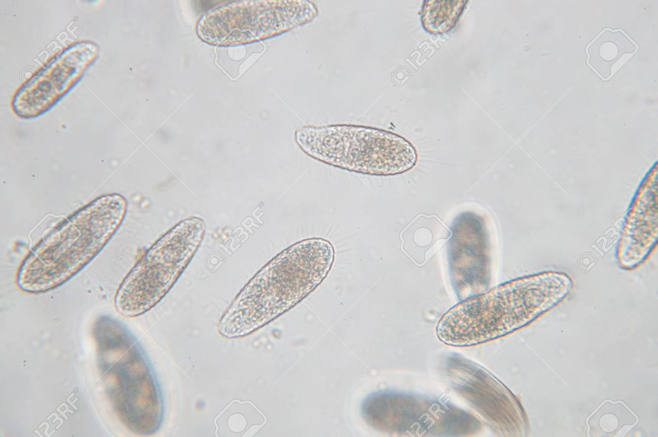 Tetrahymena is a genus of unicellular ciliated protozoan and Bacterium under the microscope - 90535640