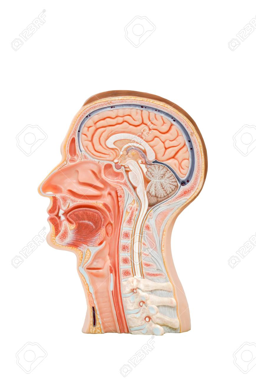 Human Head Anatomy Model For Education Physiology Stock Photo