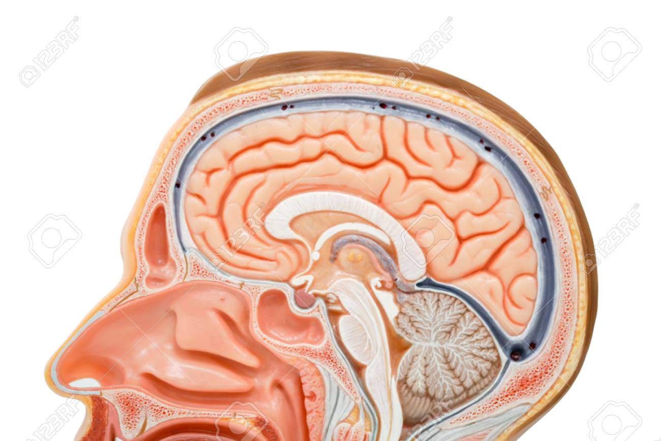 Human Brain Anatomy Model For Education Stock Photo Picture And