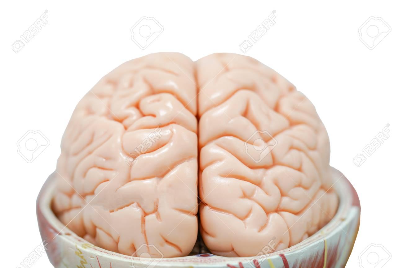 Menschliches Gehirn Anatomie Modell Für Bildung Physiologie ...
