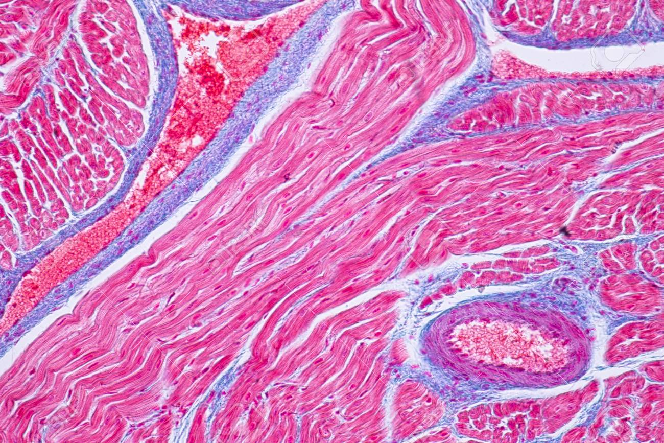 Histology Of Human Cardiac Muscle Under Microscope View For