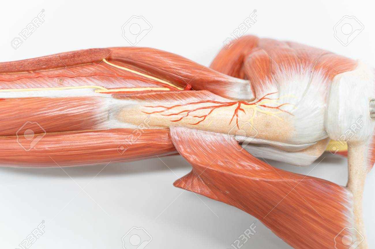 Muscles Of The Shoulder For Anatomy Education Human Phisiology