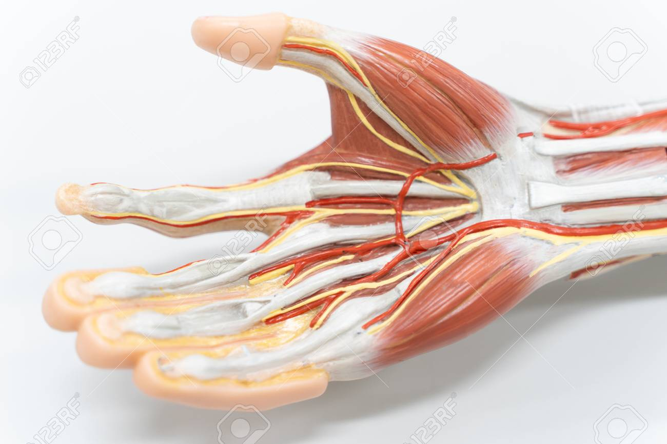 Muscles Of The Palm Hand For Anatomy Education Human Physiology