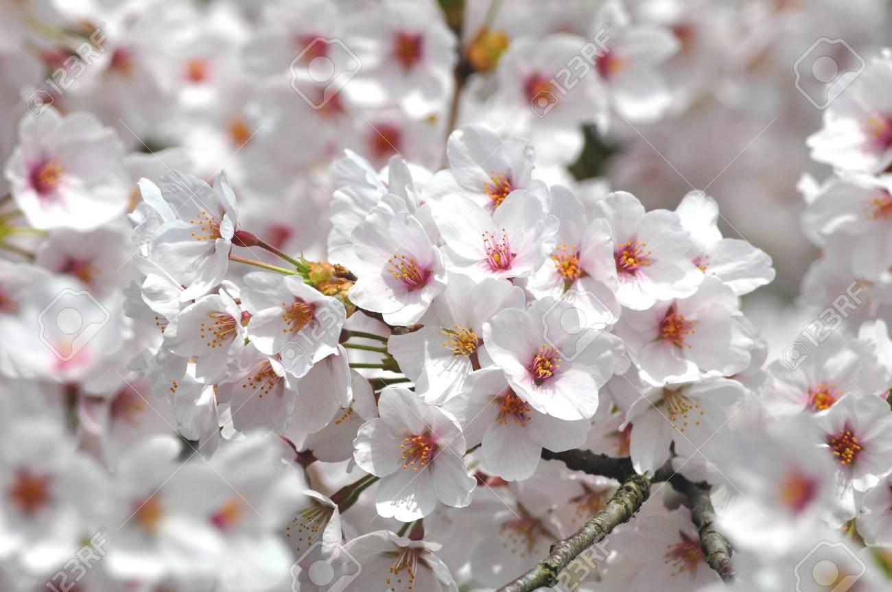 cherry blossoms Stock Photo - 17415651