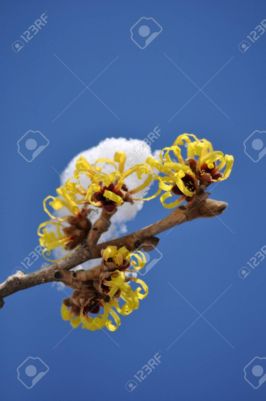 Hamamelis Japonica Stock Photo Picture And Royalty Free Image