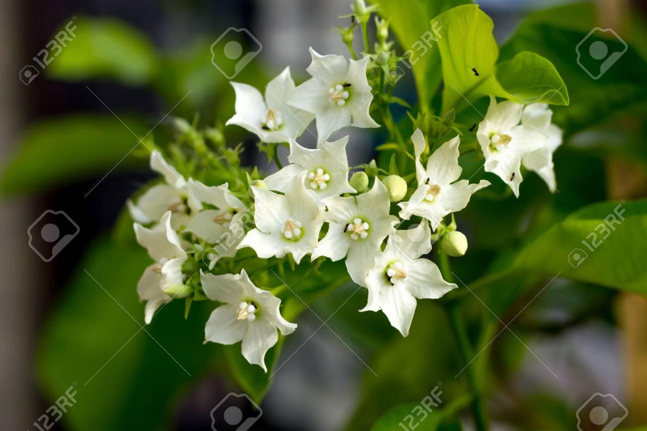 Bread Flower Vallaris Globra Ktze White Fragrant Aromatic Stock
