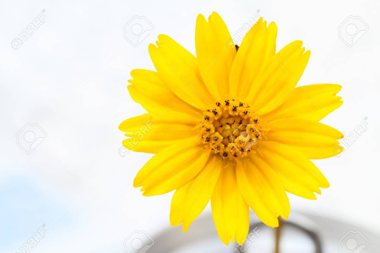 Close Up Details Of A Yellow Flower Name Wedelia Stock Photo