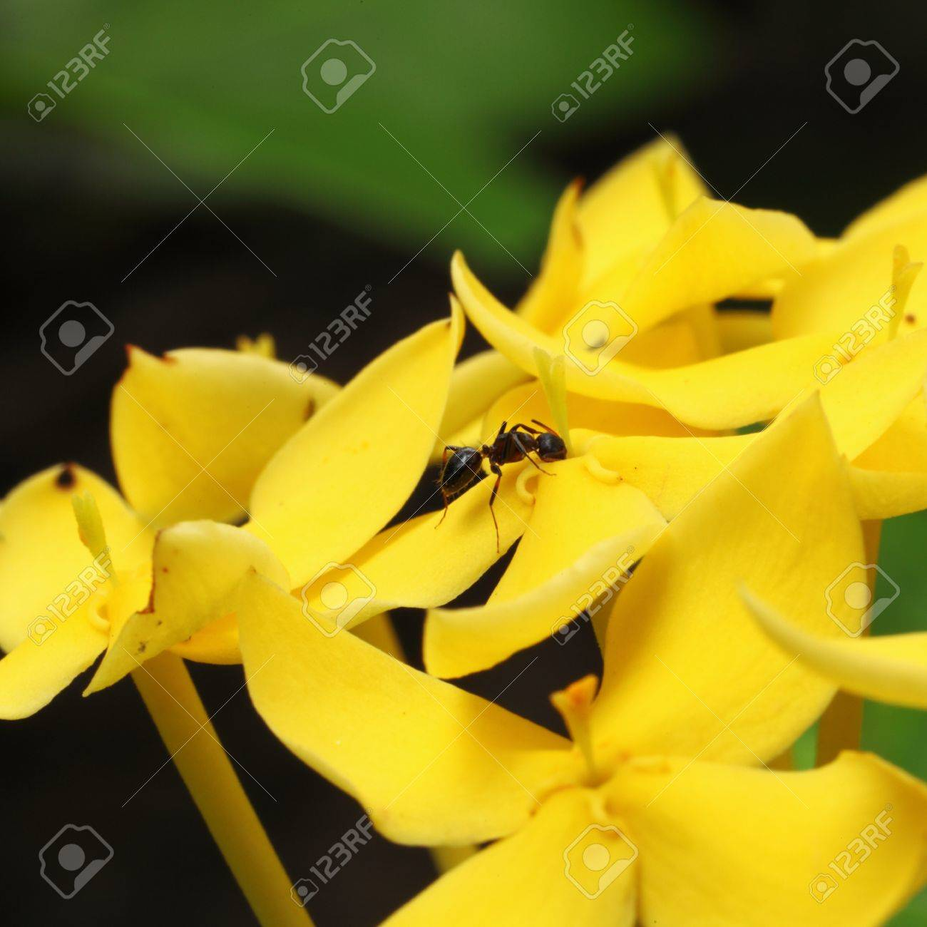 Ants on pollen yellow flowers west indian jasmine scientific stock ants on pollen yellow flowers west indian jasmine scientific name ixora chinensis lamk stock photo mightylinksfo