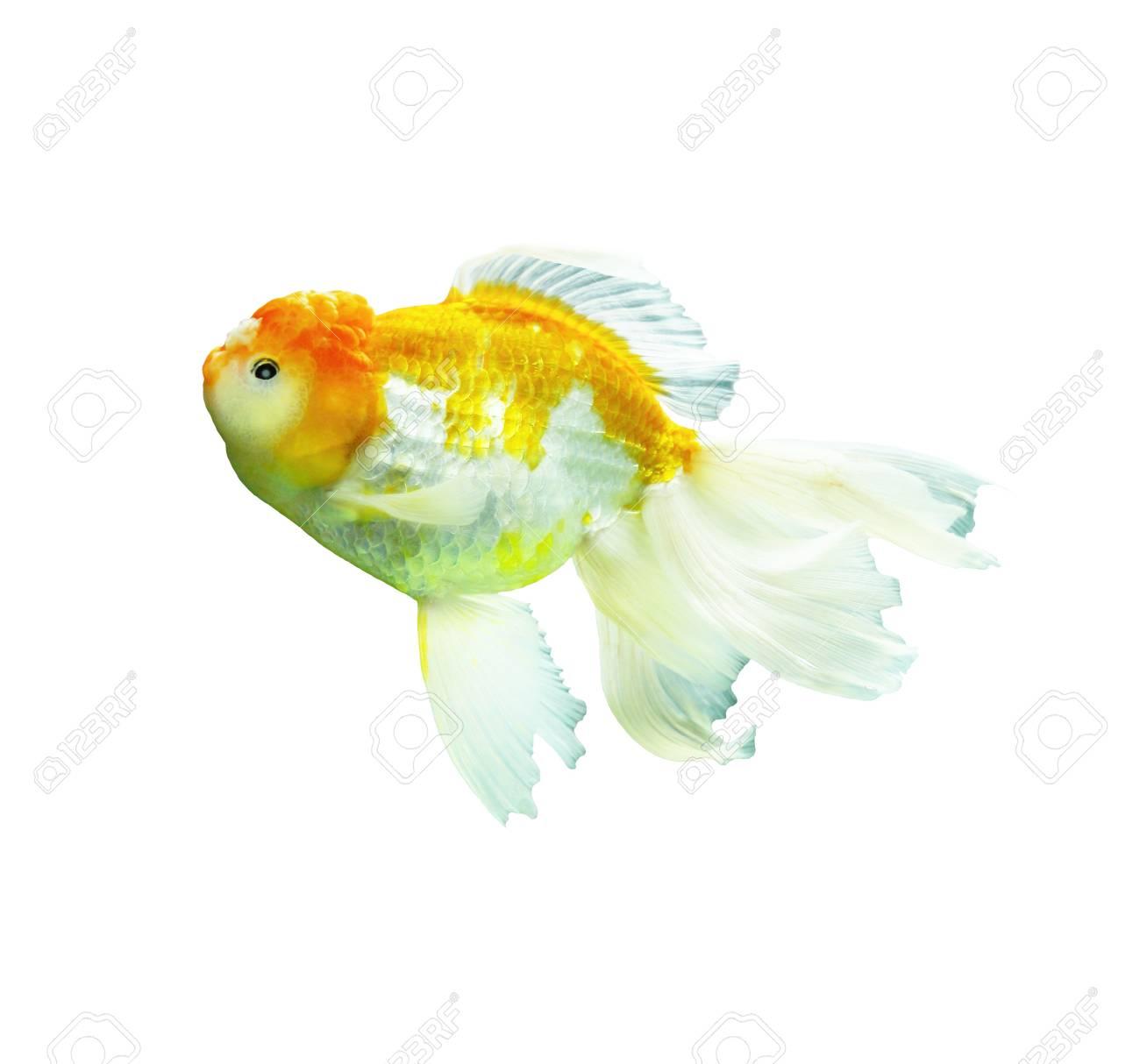 Goldfish on a white background Stock Photo - 16602031