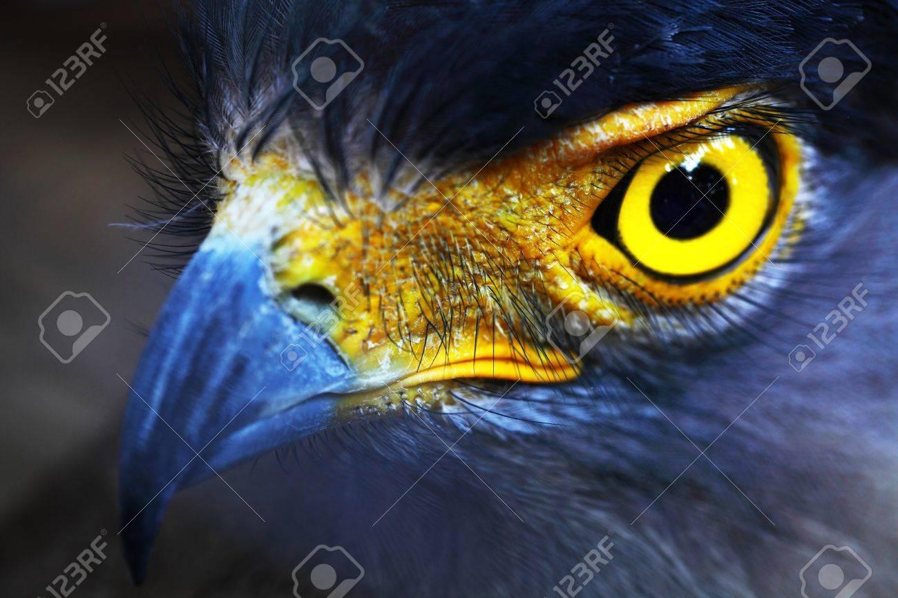 Serpent-Eagle close-up face  Spilornis cheela Stock Photo - 16905821