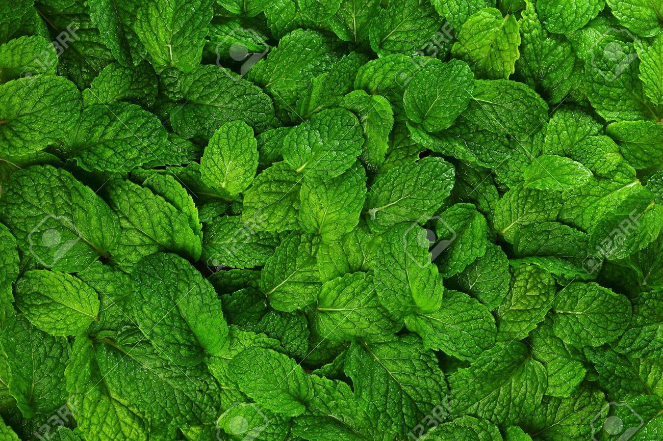 b2dbb5cec43f Close-up background fresh mint leaves. Stock Photo - 18310353
