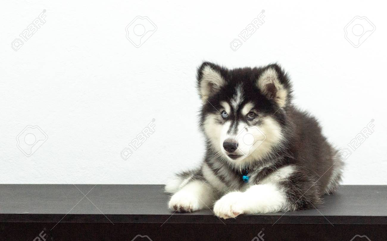 Beuatiful Black Siberian Husky Wooly Coat Puppy Stock Photo Picture And Royalty Free Image Image 101745491