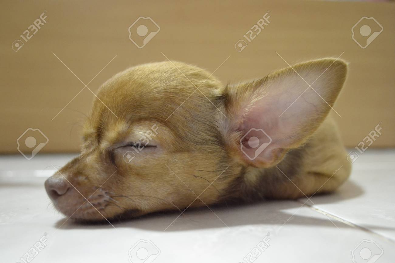 Chihuahua Puppies Sleeping Stock Photo Picture And Royalty Free