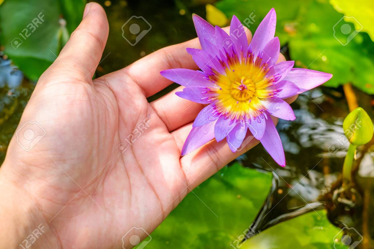 Hands Holding Lotus Flower Waterlily Against Leaves Background Stock