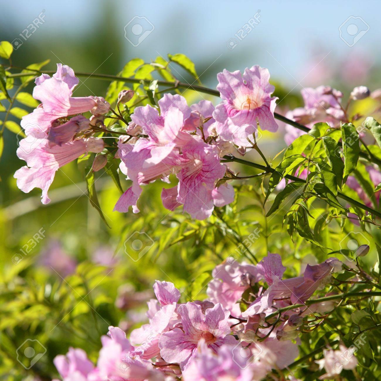 Asarina Erubescens Escrofulariaceas Pink Autumn Flowers Stock