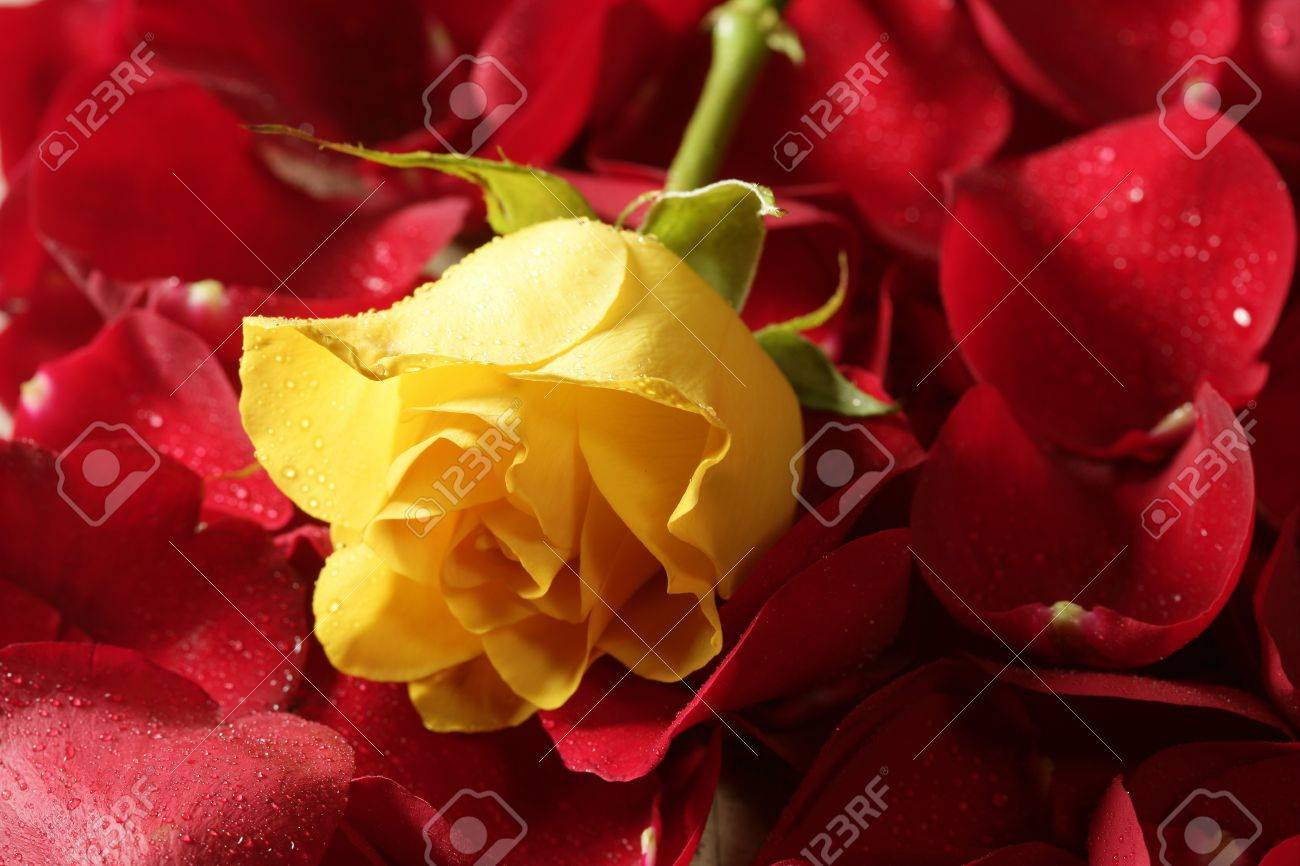 Beautiful yellow rose flower over red petals background stock beautiful yellow rose flower over red petals background stock photo 4575103 dhlflorist Image collections