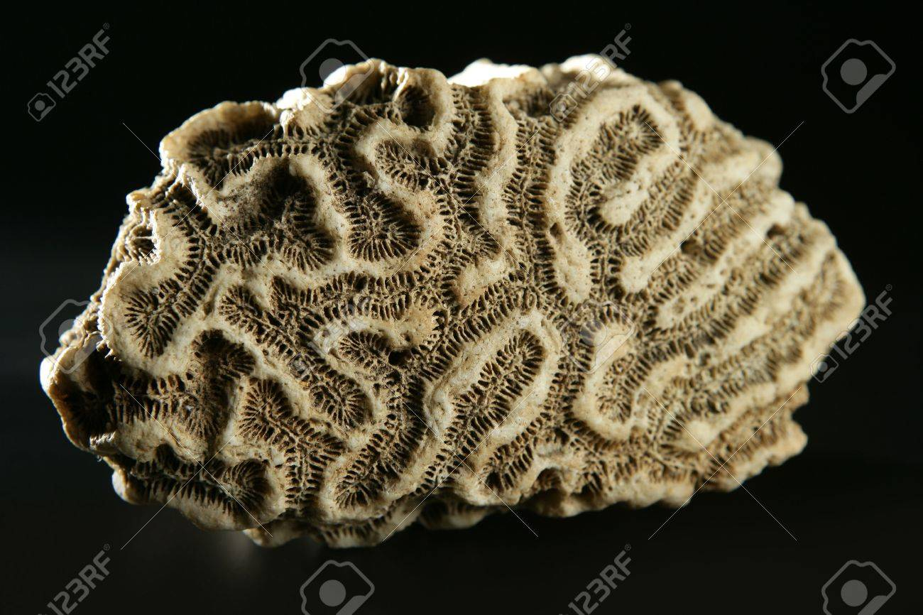 Brain coral stone macro detail closeup  studio shot Stock Photo - 6475701