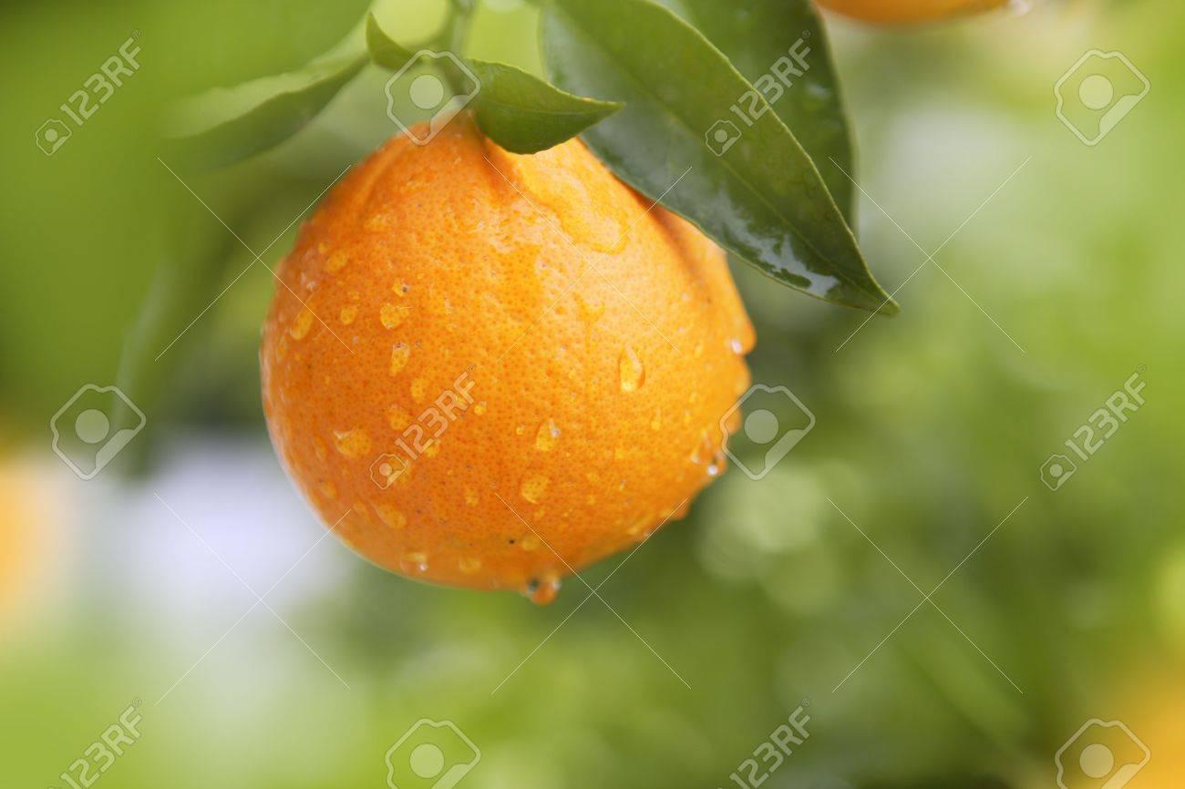 orange fruit hanging tree fresh water drops - 6846595