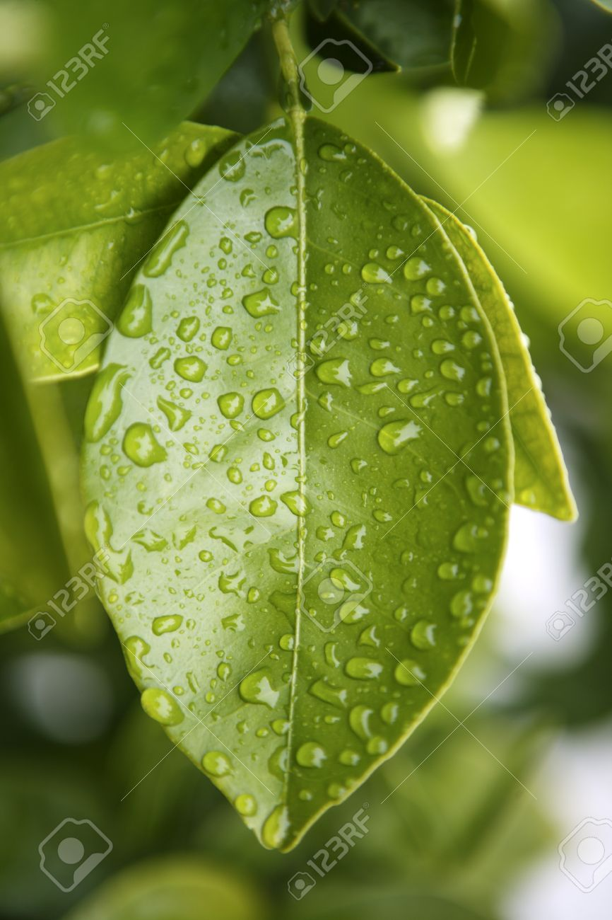 water drops on an orange tree green leaf background Stock Photo - 6985526