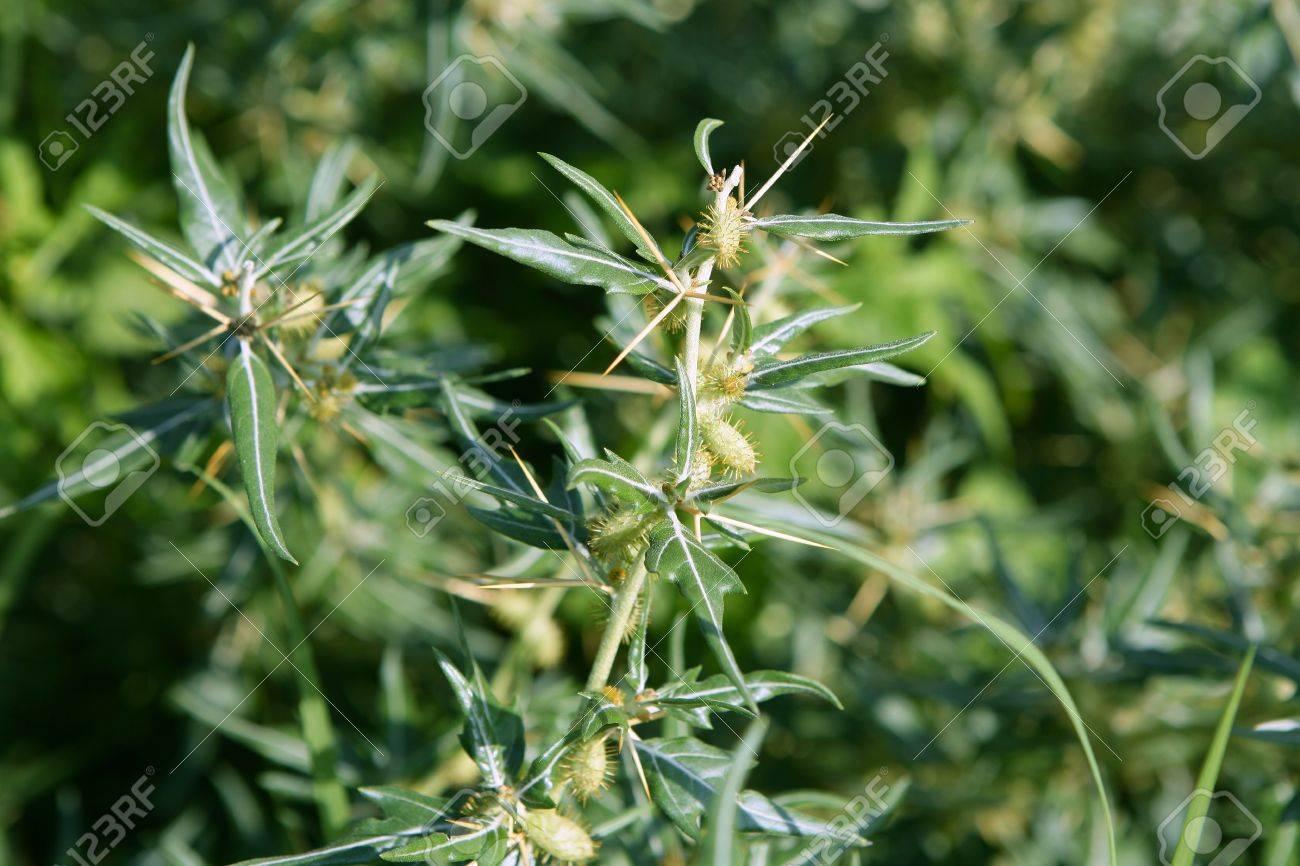 Ricinus communis, Castor Bean Plant seeds to get castor oil, medical Stock Photo - 7781034