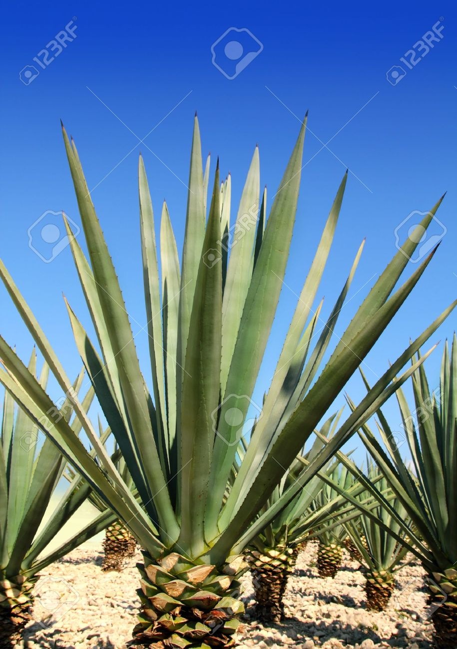 Blue Agave Tequila Plant Agave tequilana plant to