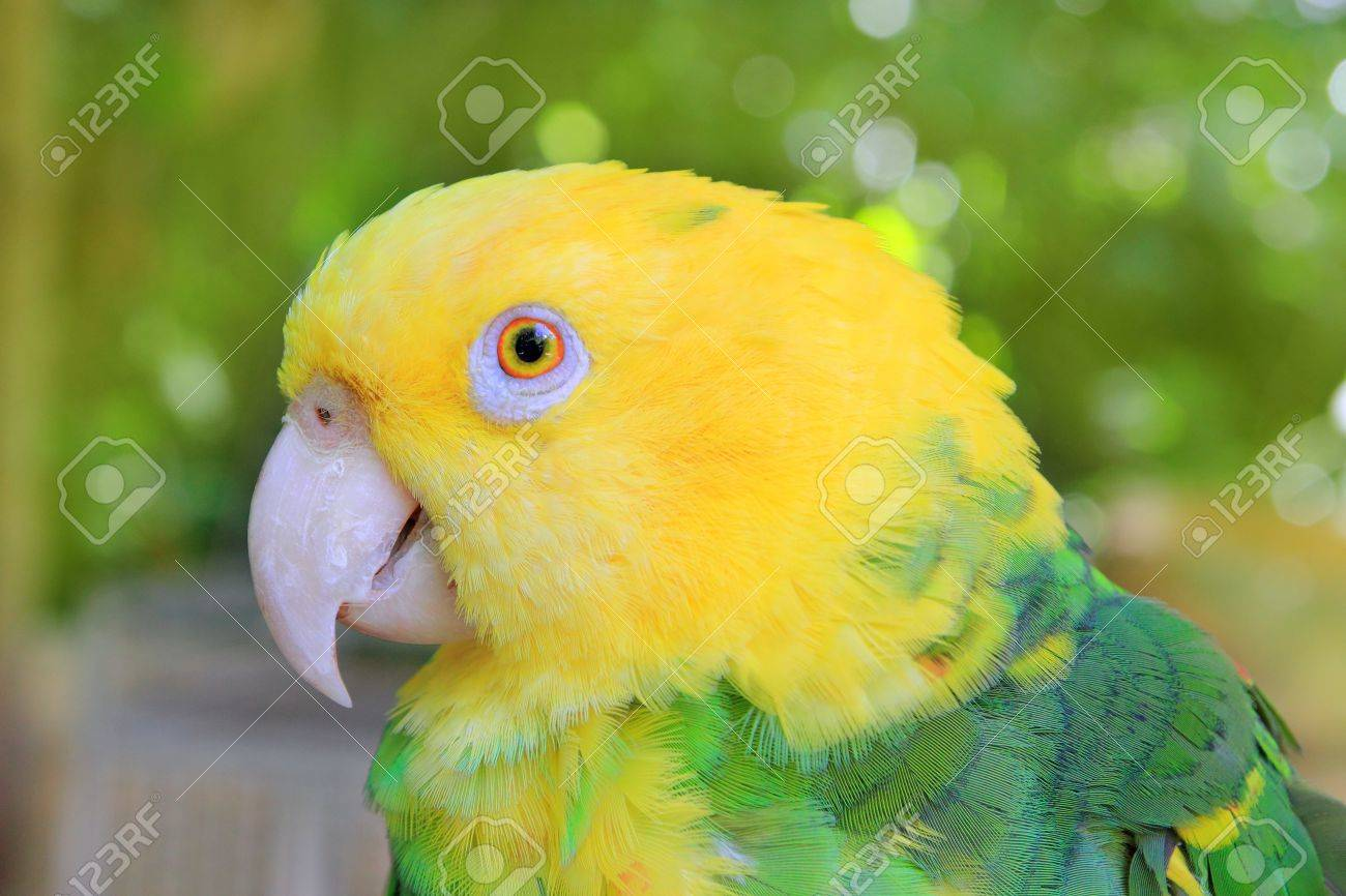Amazon Parrot Yellow headed Oratrix Central America Stock Photo - 9031062