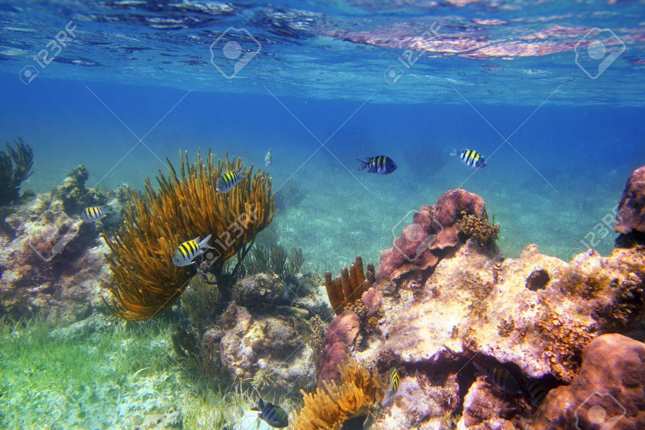 Sergeant Major fishes in caribbean reef Mexico Mayan Riviera Stock Photo - 9416989