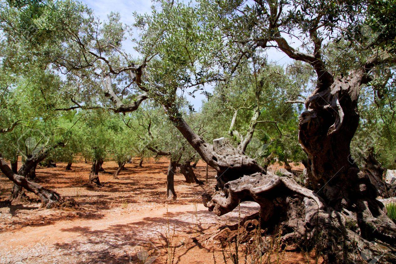 Olive trees from Majorca with red clay soil from Balearic islands in Spain Stock Photo - 10658991