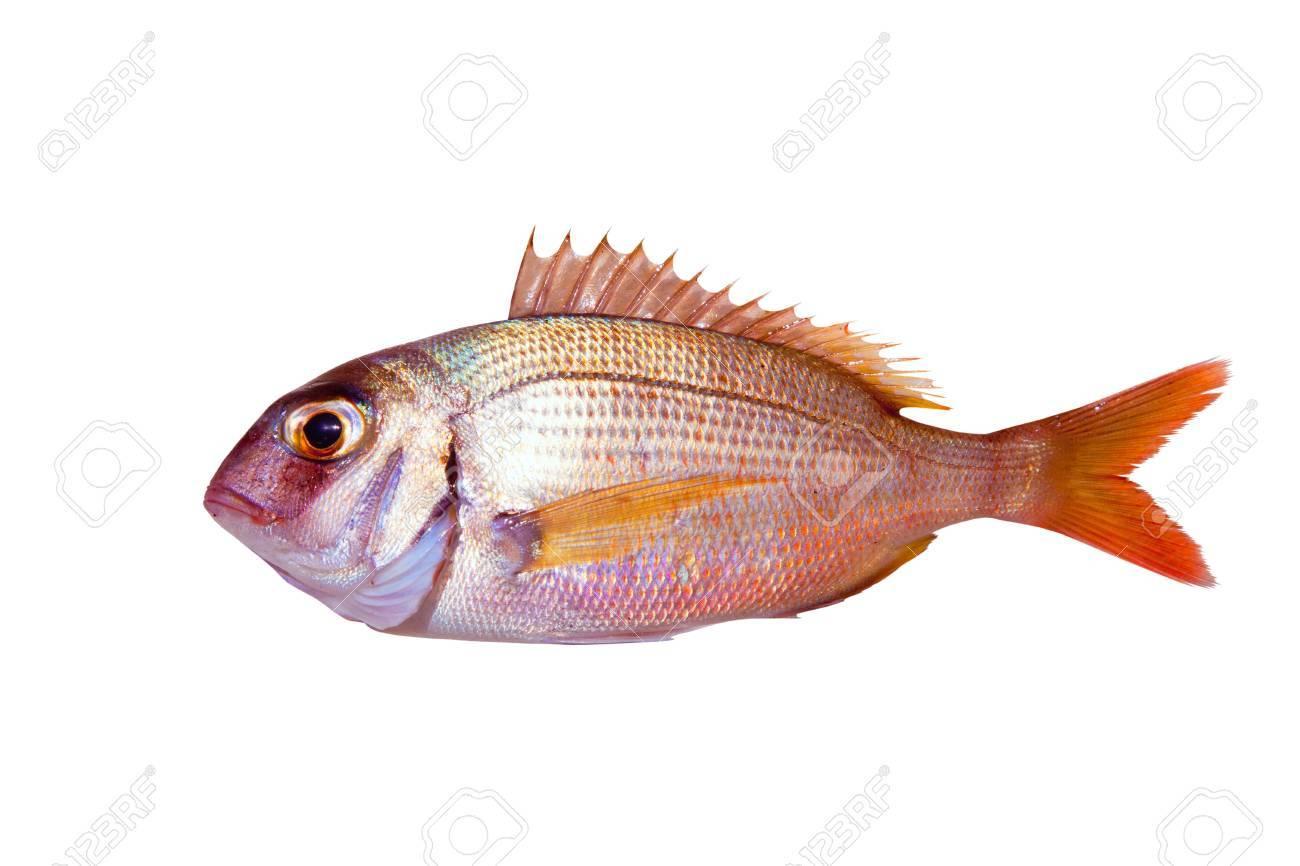 Common sea bream pagrus fish isolated on white Stock Photo - 10838228