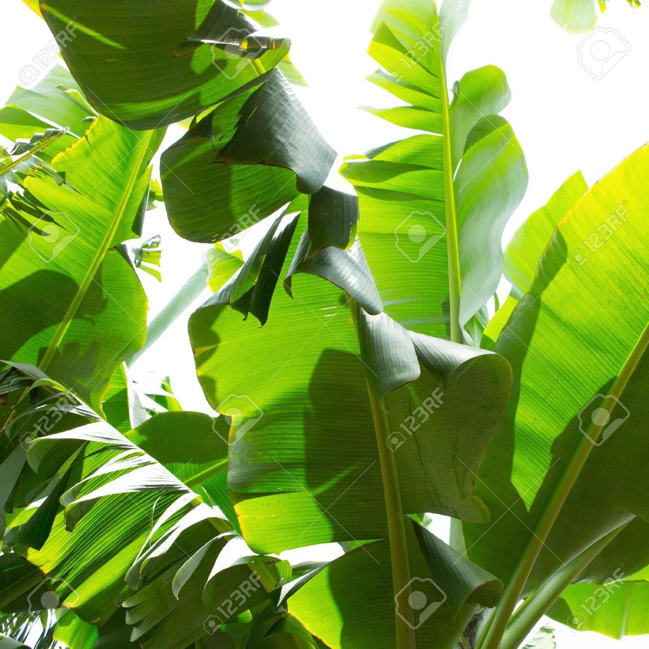 Canarian Banana plantation Platano in La Palma Canary Islands Stock Photo - 15428987