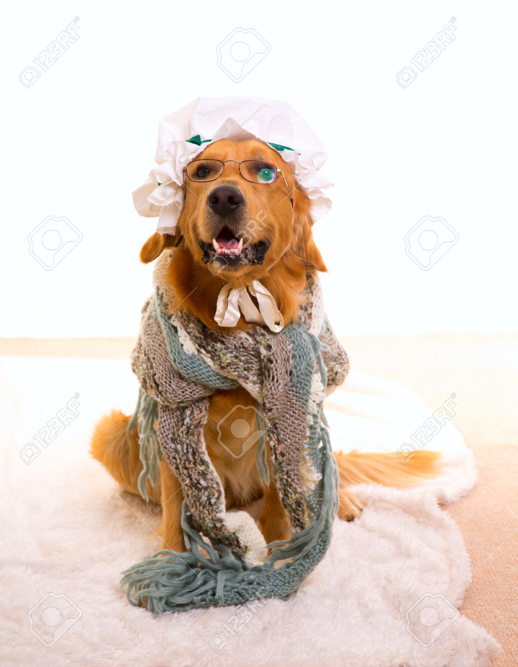 Wolf dog dressed as grandma golden retriever as Baby Little Red Riding Hood tale Stock Photo - 17239821