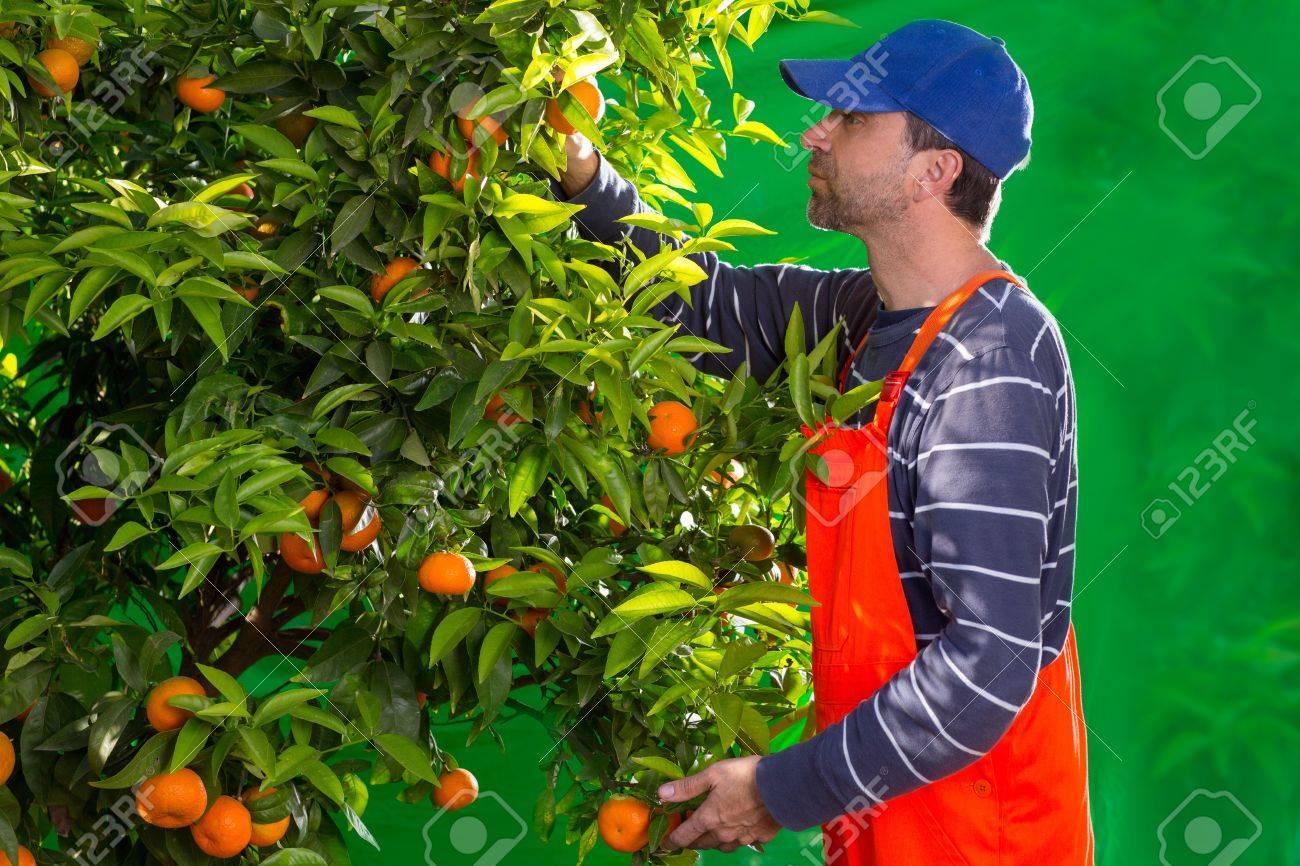 Paparazzi 17600566-mandarina-naranja-granjero-recogiendo-hombre-mediterr%C3%A1neo-en-espa%C3%B1a