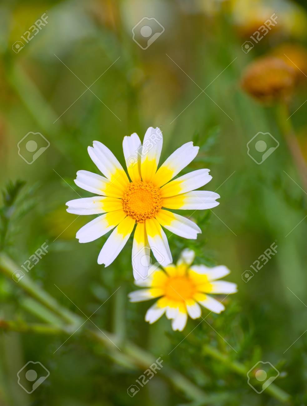 Menorca spring daisy white and yellow wild flowers in balearic menorca spring daisy white and yellow wild flowers in balearic islands stock photo 23733856 izmirmasajfo