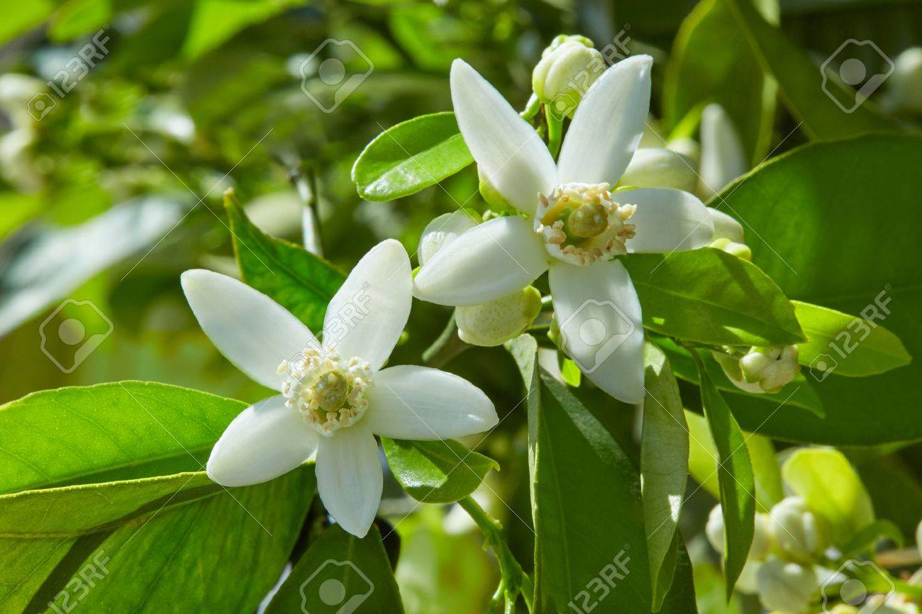 Orange blossom flowers in a tree in mediterranean Spain Banque d'images - 58906500