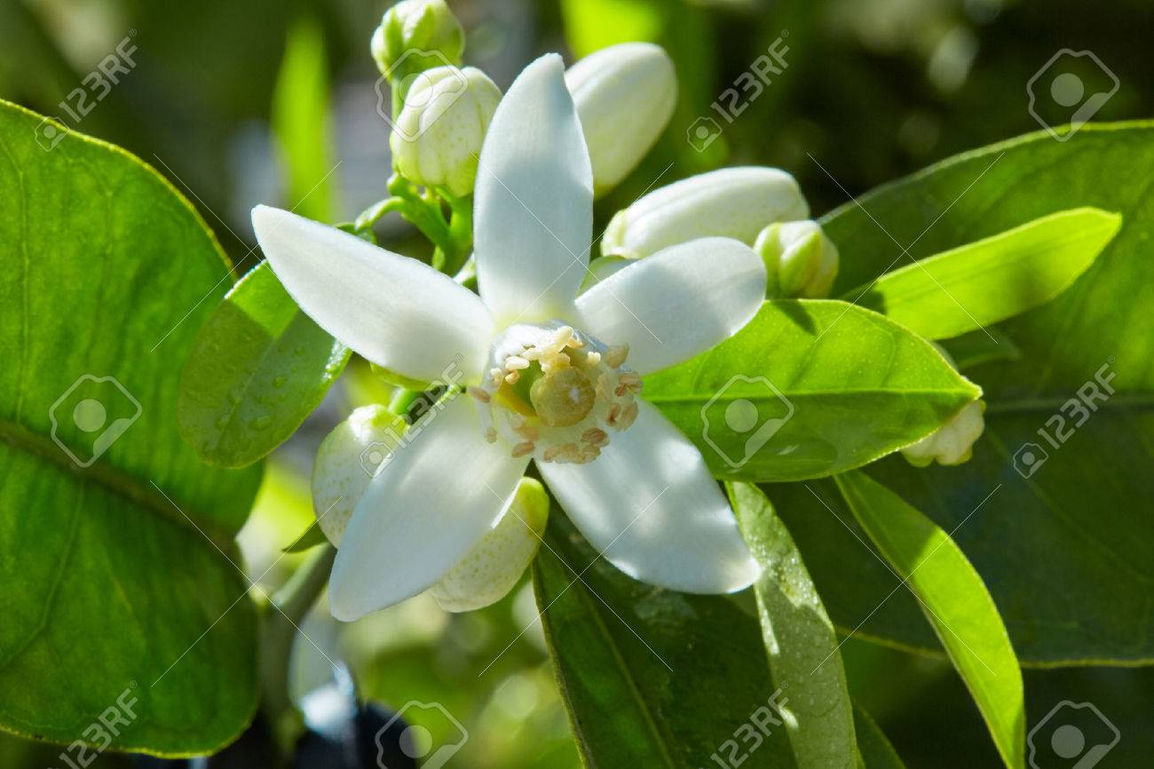 Orange blossom flowers in a tree in mediterranean Spain Banque d'images - 58906554