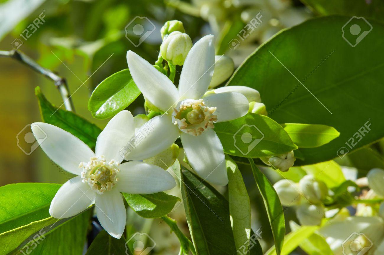 fleurs de fleur d'oranger dans un arbre méditerranéen Espagne Banque d'images - 58907345