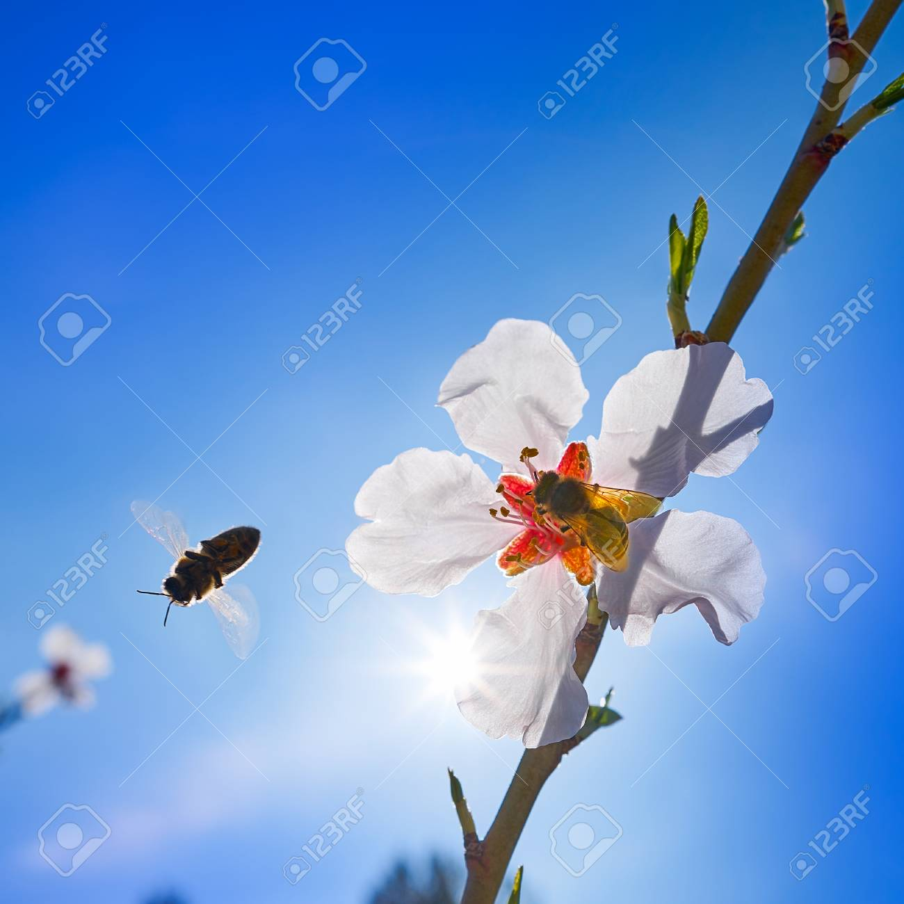Almond flower tree with bee pollination in spring at mediterranean almond flower tree with bee pollination in spring at mediterranean stock photo 96122778 izmirmasajfo