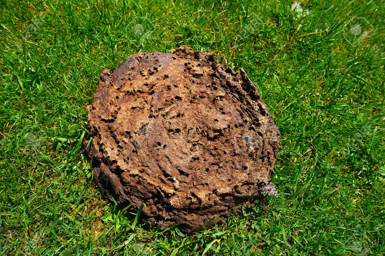 Cow poop shit in a green meadow turf grass Stock Photo - 109675059 c1c6b57306c8