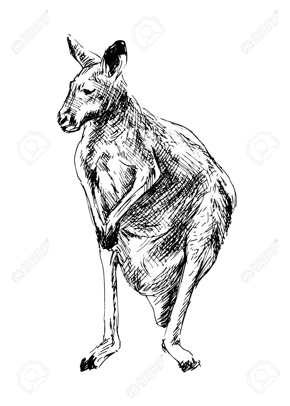 Drawing of a kangaroo  Vector illustration Stock Vector - 29299202