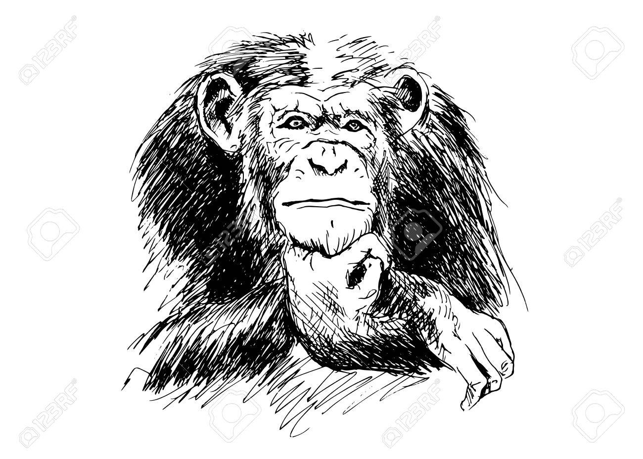 hand drawing chimpanzees royalty free cliparts vectors and stock